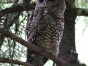 Northern Spotted Owl (Strix occidentalis caurina) at the Oregon Zoo