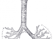 The proximal respiratory tree from human lung, showing the trachea down to the conducting bronchioles.