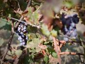 Grayson Hills Vineyard shoot