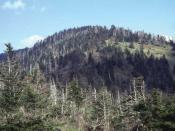 Fraser fir forest, with many trees killed by Balsam woolly adelgid