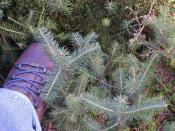 Seedlings of Fraser fir (blue-green, longer needles) and Red Spruce (green, shorter needles)