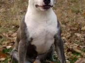 English: A 12 year old American Staffordshire Terrier (FCI registered).