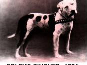 English: Colby's Pincher,56 lbs when conditioned,was named