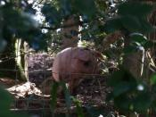 English: This little piggy Spotted through the undergrowth near Rockhay Bridge, and seemed quite anxious to make friends; the rest kept their distance.
