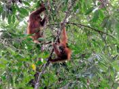 English: wild orang utans, Gunung Leuser NP, Sumatra