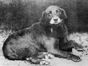 Buccleuch Avon (b.1885), considered the ancestor of all modern Labrador Retriever.