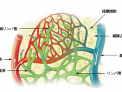 Lymph capillaries in the tissue spaces