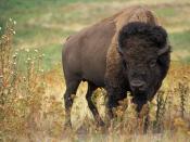 English: Bison bison. Original caption: