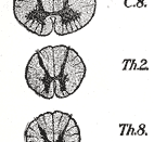 Cross-sections of the spinal cord at varying levels.