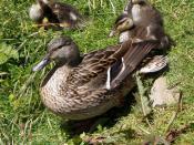 English: Female Mallard (Anas platyrhynchos) with ducklings Español: Un ánade real (Anas platyrhynchos) femenino con patitos.