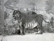 Caspian Tiger (Panthera tigris virgata), a.k.a. Persian Tiger (Berlin Zoo, 1899) The Caspian Tiger (or Persian tiger) (Panthera tigris virgata) was found in Iran, Afghanistan, Turkey, Mongolia, and the Central Asiatic area of Russia. This sub species of t
