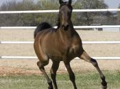 English: Trotting Arabian colt
