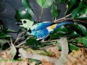 Seven-colored Tanager, Tangara fastuosa