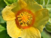 Sida cordifolia (Bala, Country Mallow)