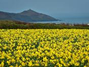 English: Daffodil field in South East Cornwall