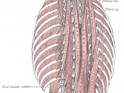 English: The obliquus capitis inferior muscle is the larger of the two oblique muscles of the neck. This sketch is from Gray's Anatomy.