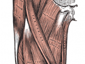 Muscles of the iliac and anterior femoral regions. First lumbar vertebra second highest vertebra seen.