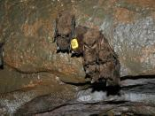 One bat with attached datalogger hibernating in a cluster, Shindle Iron Mine, Pennsylvania