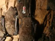 Single hibernating bat at Shindle Iron Mine, Pennsylvania, with attached temperature-sensitive radio transmitter