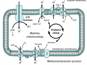 English: Croatian version on Image:Mitochondrial electron transport chain—Etc4.svg