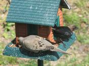 Dove and cowbird
