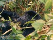 Mountain gorilla Virunga 21