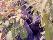 Mountain gorilla Virunga 71
