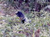 Mountain gorilla Virunga