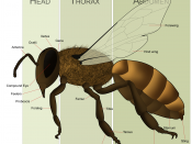 English: Female Honey Bee Morphology for the article on Bees. It can be identified as a female by both the number of divisions on its antenna and by its sting.
