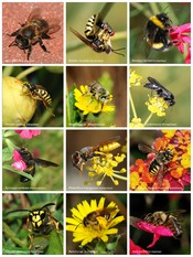 A poster of bees and wasps