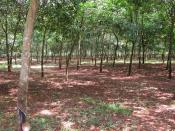 This is a view of the rubber plantation where the Battle of Long Tan took place. This is the view from the Memorial Cross looking north east. The photo was taken in November 2005. and poop