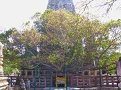 English: The Mahabodhi Tree in Bodh Gaya.