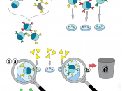 Diagram showing the production of monoclonal antibodies via hybridoma technology