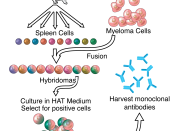 English: Overview of hybridoma technology and monoclonal antibody creation