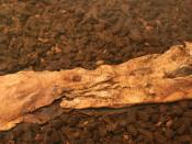 English: Right foot of bog body Lindow Man Deutsch: Rechter Unterschenkel des Lindow Mannes