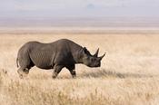 Black rhino (Diceros bicornis) in the Ngorongoro crater, Tanzania. Français : Rhinocéros noir (Diceros bicornis) dans dans l'aire de conservation du Ngorongoro, Tanzanie. Bahasa Indonesia: Badak Hitam (Diceros bicornis) di Cagar Alam Ngorongoro, Tanzania.