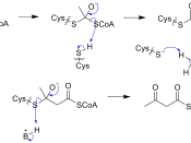 English: Mechanism of Acetyl CoA -> Acetoacetyl CoA transformation in mevalonate pathway