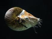 Chambered Nautilus, at Pairi Daiza, Brugelette, Belgium