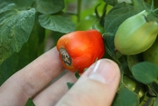 English: Blossom end rot (calcium deficiency) on a tomato
