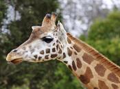English: Giraffe (Giraffa camelopardalis), Melbourne Zoo, Australia. Français : Girafe, Zoo de Melbourne (Australie).