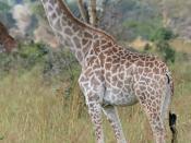 English: A Giraffe in the Mikumi National Park, Tanzania