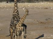 Mating Southern savannah giraffes at Chudop waterhole, Etosha, Namibia Français : Deux Girafes s'accouplant. Point d'eau de Chudop, Etosha, Namibie