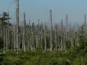 English: Effects of acid rain, woods, Jizera Mountains, Czech Republic