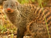 Banded Mongoose (Mungos mungo), Uganda