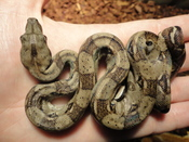 English: South American Boa Constrictor