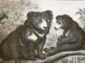Bears hunted in the Seoni hills - these stories may have inspired Rudyard Kipling's works. Originally captioned waiting for father - this was about a family of bears waiting for their father that was killed. The next day the mother bear was also killed.