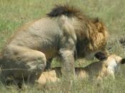 A pair of lions copulating in the Maasai Mara, Kenya