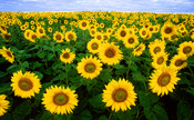 English: Sunflowers in Fargo, North Dakota. Español: Girasoles amarillos Français : Un champ de tournesols à Fargo, dans le Dakota du Nord (USA).