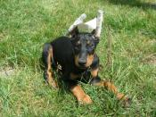 A Doberman puppy with its ears taped after being cropped.