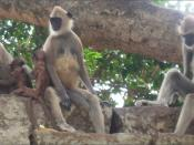 Infanticide occurs in other animals, such as in Hanuman Langurs.